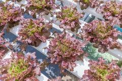 La serra del sistema di coltura idroponica e l'insalata organica delle verdure nella coltura idroponica coltivano Immagini Stock