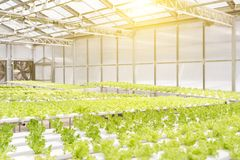 La serra del sistema di coltura idroponica e l'insalata organica delle verdure nella coltura idroponica coltivano per progettazio Fotografia Stock
