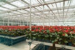 La serra fiorisce la coltivazione delle piante Fotografia Stock Libera da Diritti
