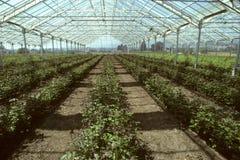 La serra ha riempito di piante di rosa Immagine Stock