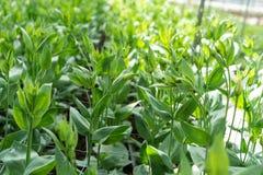 La serra in pieno del grandiflorum di lisianthus pianta l'agricoltura della serra dell'orticoltura Immagini Stock Libere da Diritti