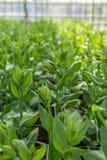 La serra in pieno del grandiflorum di lisianthus pianta l'agricoltura della serra dell'orticoltura Fotografia Stock Libera da Diritti