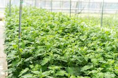 La serra in pieno del grandiflorum di lisianthus pianta l'agricoltura della serra dell'orticoltura Immagine Stock