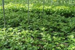 La serra in pieno del grandiflorum di lisianthus pianta l'agricoltura della serra dell'orticoltura Fotografia Stock