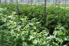 La serra in pieno del grandiflorum di lisianthus pianta l'agricoltura della serra dell'orticoltura Fotografie Stock