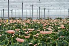 La serre chaude complètement des anthures roses, préparent pour couper Photos stock