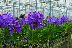 La serre chaude de l'orchidée de Vanda Image libre de droits