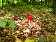 La seta Archer hace alarde de en bosque del verano fotografía de archivo libre de regalías