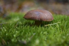 La seta de Brown crece en una almohada suave del musgo verde fotos de archivo libres de regalías