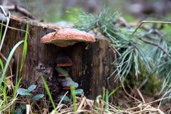 La seta del hongo de estante del haga del ¡de Ð crece en un tocón en el bosque T Fotos de archivo libres de regalías