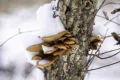 La seta del pie del terciopelo crece en un registro después de una nieve fresca Fotos de archivo libres de regalías