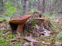 La seta en el bosque Imagen de archivo libre de regalías