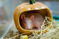 La sfinge della razza del ratto dell'animale domestico si siede in una zucca Fotografie Stock Libere da Diritti