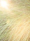 La sfuocatura di erba alta con len l'effetto del chiarore, dall'immagine del fuoco Fotografia Stock Libera da Diritti