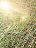 La sfuocatura di erba alta con len l'effetto del chiarore, dall'immagine del fuoco Immagine Stock