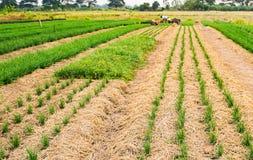 La sfuocatura di Solf degli agricoltori sta piantando la erba cipollina fresca e giovane Fotografia Stock