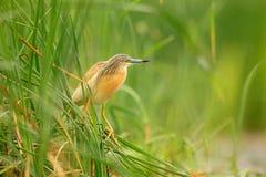 La sgarza ciuffetto, ralloides di Ardeola, uccello acquatico giallo nella natura, innaffia l'erba verde nei precedenti, Ungheria fotografia stock