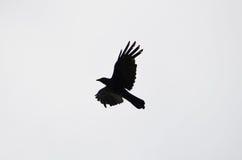 La silhouette d'une corneille de vol Images libres de droits