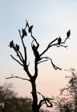 La silhouette du blanc a soutenu des vautours étés perché dans un arbre Photographie stock libre de droits