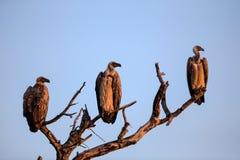 La silhouette du blanc a soutenu des vautours étés perché dans un arbre Image stock