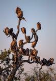La silhouette du blanc a soutenu des vautours étés perché dans un arbre Photo libre de droits