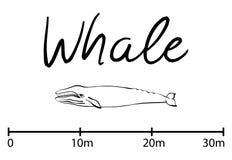 La silueta de la ballena, ballena azul aisló vector blanco y negro Foto de archivo libre de regalías
