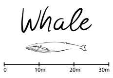 La silueta de la ballena, ballena azul aisló vector blanco y negro Fotos de archivo libres de regalías