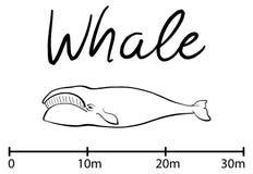 La silueta de la ballena, ballena azul aisló vector blanco y negro Imagenes de archivo