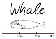 La silueta de la ballena, ballena azul aisló vector blanco y negro Fotos de archivo