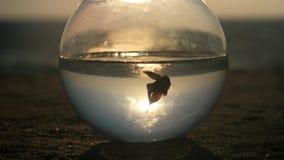 La silueta splendens de los pequeños de un Betta de los pescados nada en un fishbowl redondo por el océano en la puesta del sol e almacen de metraje de vídeo