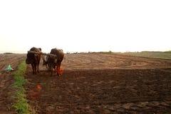 La siluetta di un agricoltore ara il suo campo con una coppia la Buffalo in preparazione che pianta in India Fotografia Stock Libera da Diritti