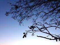 La siluetta di un alnus dell'albero di ontano si ramifica e dei gattini degli smallcones all'autunno/inverno Fotografie Stock Libere da Diritti