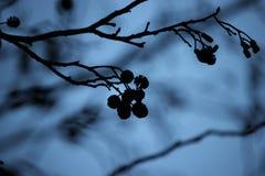 La siluetta di un alnus dell'albero di ontano si ramifica e piccoli gattini dei coni all'autunno/inverno Fotografie Stock
