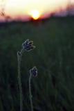 La siluetta pianta il fiore contro il tramonto Immagine Stock