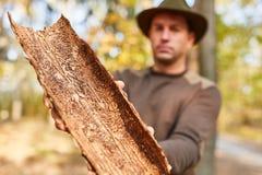 La silvicultura muestra la corteza de árbol con la infestación del parásito fotos de archivo