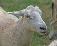 La singola pecora di Kathadin sta essendo amichevole fotografia stock