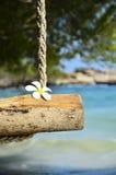La singola plumeria fiorisce sulle oscillazioni della corda, l'isola samed, Thailan Fotografia Stock