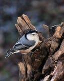 La sitta si è appollaiata su Driftwood Fotografie Stock