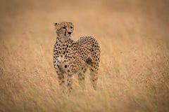 La situación del guepardo en aumentos largos de la hierba dirige imágenes de archivo libres de regalías