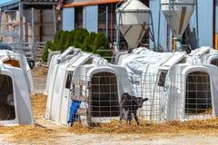 La situación joven del becerro en una granja lechera, parece alerta imagen de archivo