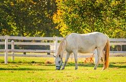 La Slovenia, Lipica, cavallo di Lipizzan Immagini Stock