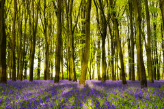 La sol fluye a través de árboles de haya en el bosque de la campanilla de Oxford foto de archivo libre de regalías