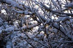 La sol a través de la flor de Wintersweet Foto de archivo libre de regalías
