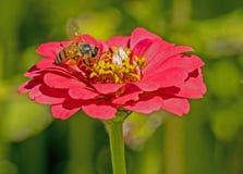 La sola abeja alimenta en una floración de un Zinnia rosado Imagenes de archivo