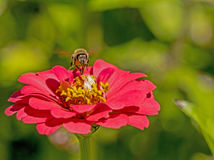 La sola abeja alimenta en una floración de un Zinnia rosado Fotografía de archivo
