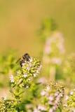 La sola abeja se encaramó en el tomillo con las floraciones rosadas Fotografía de archivo libre de regalías