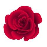 La sola flor subió Imagenes de archivo