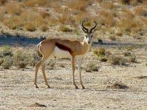 La sola gacela fotografió en el parque nacional internacional de Kgalagadi entre Suráfrica, Namibia, y Botswana Imágenes de archivo libres de regalías