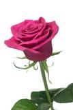 La sola potencia púrpura de color rosa oscuro se levantó Imagenes de archivo