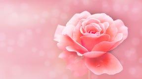 La sola rosa rosada y blanca aisló el bokeh suave selectivo rosado del fondo de la falta de definición fuera de fondo del foco co imagenes de archivo